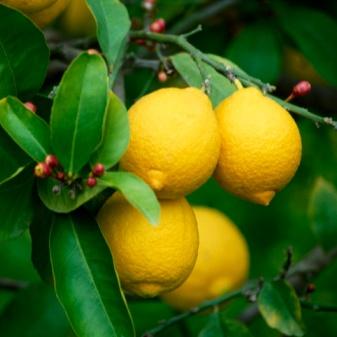 limon-04