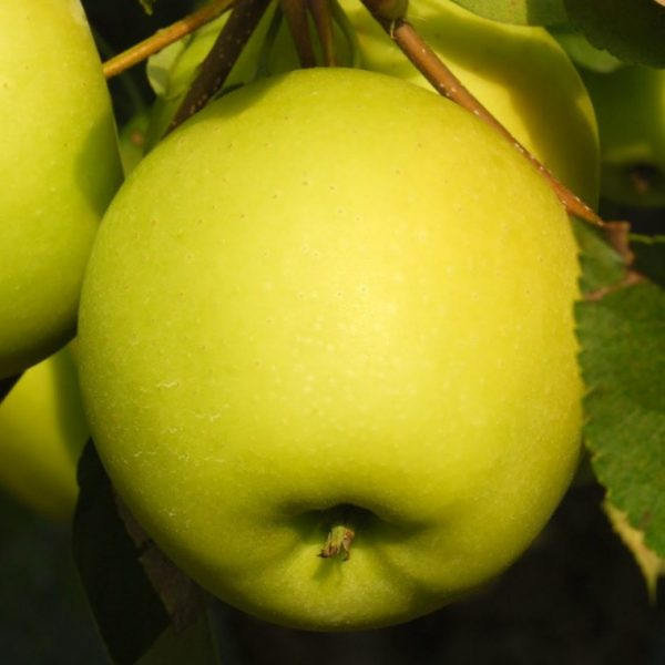 Manzana-golden-01